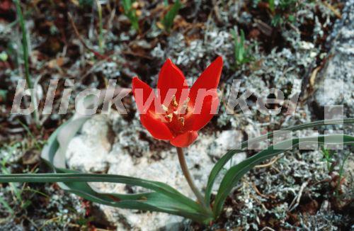 blickwinkel goulimys tulpe tulipa goulimyi bluehend griechenland peloponnes goulimy 39 s. Black Bedroom Furniture Sets. Home Design Ideas