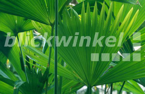 blickwinkel panamapalme carludovica palmata palmblatt panama hat palm toquilla palma de. Black Bedroom Furniture Sets. Home Design Ideas