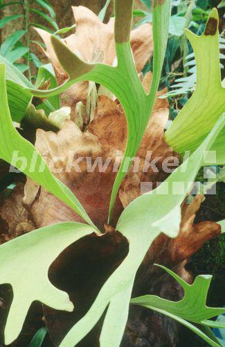 Blickwinkel geweihfarn geweih farn platycerium bifurcatum heterophyllie geweihfoermige - Epiphyten zimmerpflanze ...