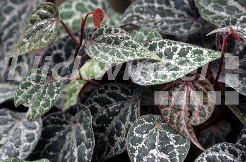 Blickwinkel zierblatt pfeffer zierblattpfeffer zierpfeffer zier pfeffer piper crocatum - Pfeffer zimmerpflanze ...