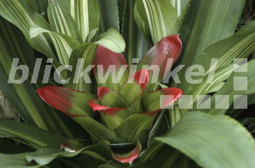 Blickwinkel nestrosette nidularium innocenti nidularium innocenti var lineatum - Epiphyten zimmerpflanze ...