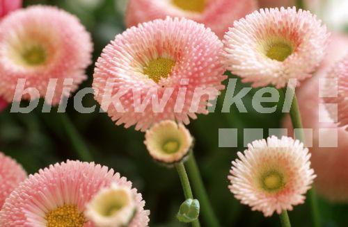 blickwinkel gaensebluemchen massliebchen tausendschoenchen bellis perennis 39 pomponette rosa. Black Bedroom Furniture Sets. Home Design Ideas