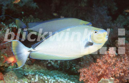 Blickwinkel Masken Nashorndoktorfisch Masken Doktorfisch