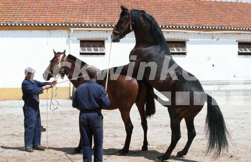 blickwinkel - Altér Real (Equus przewalskii f. caballus