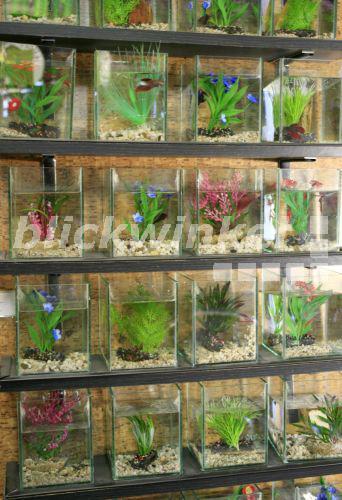 Blickwinkel siamesischer kampffisch betta splendens for Kampffisch aquarium