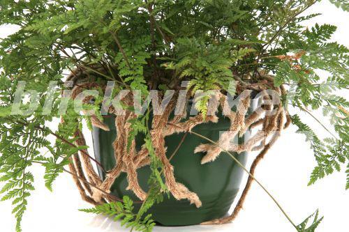Blickwinkel davallie vogelspinnen farn vogelspinnenfarn hasenpfotenfarn hasenpfoten farn - Epiphyten zimmerpflanze ...
