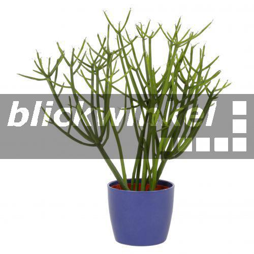 Blickwinkel bleistiftbaum bleistift baum - Wolfsmilch zimmerpflanze ...