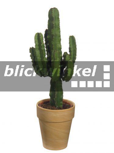 Blickwinkel kandelaber wolfsmilch kaktus wolfsmilch euphorbia ingens topfpflanze - Wolfsmilch zimmerpflanze ...