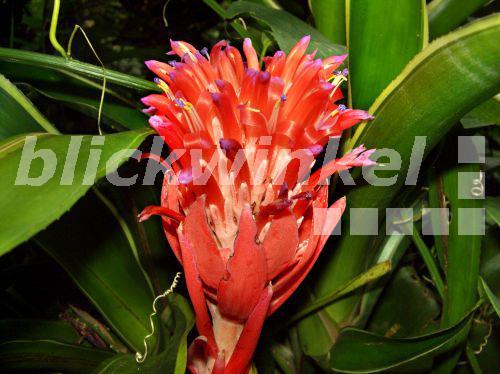 Blickwinkel zimmerhafer billbergia pyramidalis billbergia pyramidalis bluetenstand - Epiphyten zimmerpflanze ...