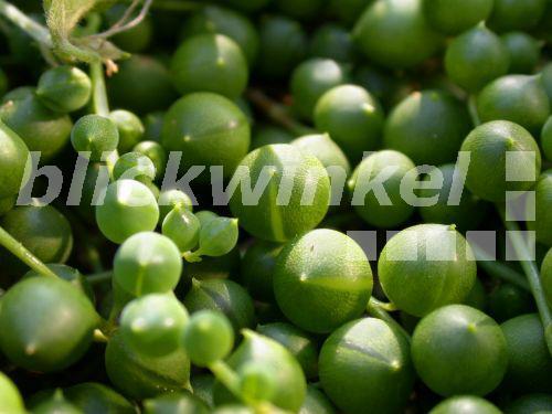 blickwinkel Kreuzkraut, Perlenkette, Erbsen am Band (Senecio rowleyanus), sukkulente Blaetter  ~ 01163053_Unterschied Sukkulente Xerophyten