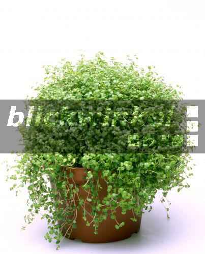 blickwinkel bubikopf bubikoepfchen soleirolia soleirolii topfpflanze angels 39 tears baby. Black Bedroom Furniture Sets. Home Design Ideas