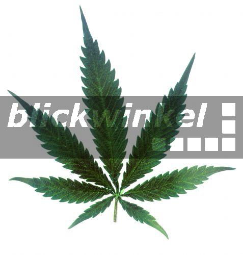 blickwinkel hanf cannabis sativa blatt indian hemp. Black Bedroom Furniture Sets. Home Design Ideas