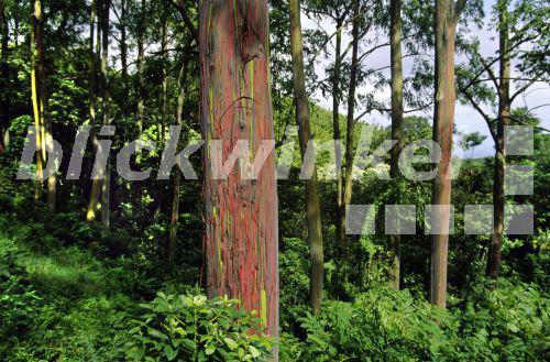 blickwinkel eukalyptus kamerere eucalyptus deglupta. Black Bedroom Furniture Sets. Home Design Ideas