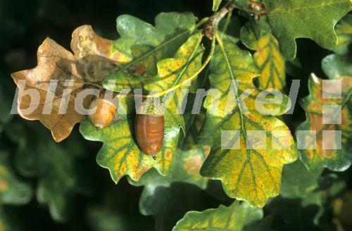 Blickwinkel Stiel Eiche Stieleiche Quercus Robur Reife