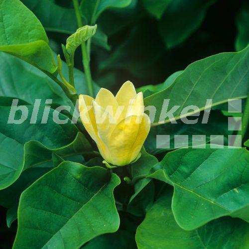 blickwinkel gelbe magnolie magnolia brooklynensis. Black Bedroom Furniture Sets. Home Design Ideas