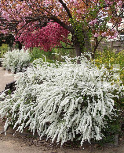 Weißblühender strauch