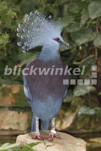 Taube Zunge Corona