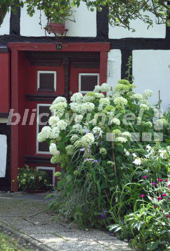 blickwinkel schneeballhortensie schneeball hortensie. Black Bedroom Furniture Sets. Home Design Ideas