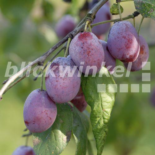 blickwinkel - Pflaume, Pflaumenbaum, Zwetschge