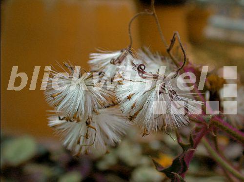Blickwinkel Samtnessel Samt Nessel Samptpflanze Samt Nessel