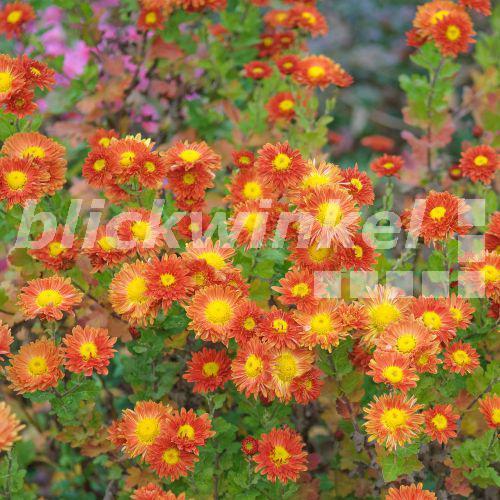 blickwinkel garten chrysantheme herbst chrysantheme winter aster gartenchrysantheme. Black Bedroom Furniture Sets. Home Design Ideas