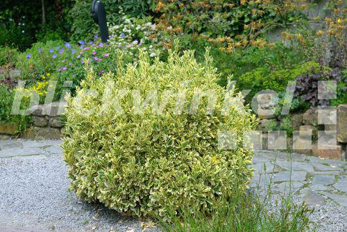 blickwinkel japanischer spindelstrauch euonymus japonicus 39 aureomarginatus 39 euonymus. Black Bedroom Furniture Sets. Home Design Ideas