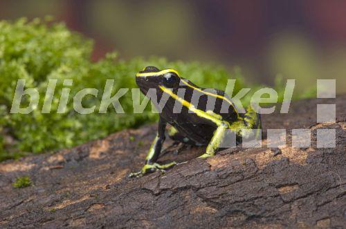 Südamerikanischer Froschlurch