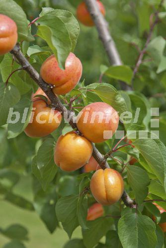 Blickwinkel Aprikosenbaum Aprikosen Baum Prunus Armeniaca
