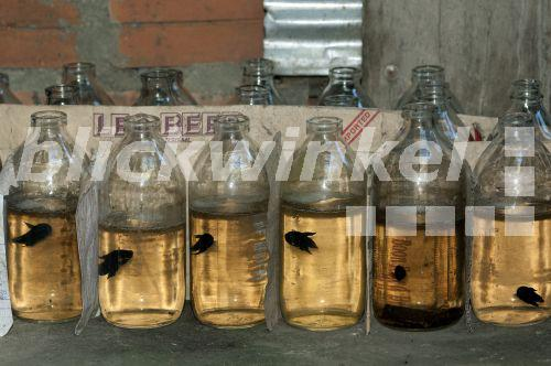 Blickwinkel siamesischer kampffisch betta splendens for Asiatischer zierfisch